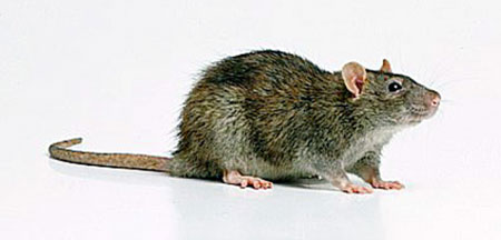 norway rat